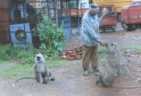 भैयालाल- बंदरो को खिलाते हुए