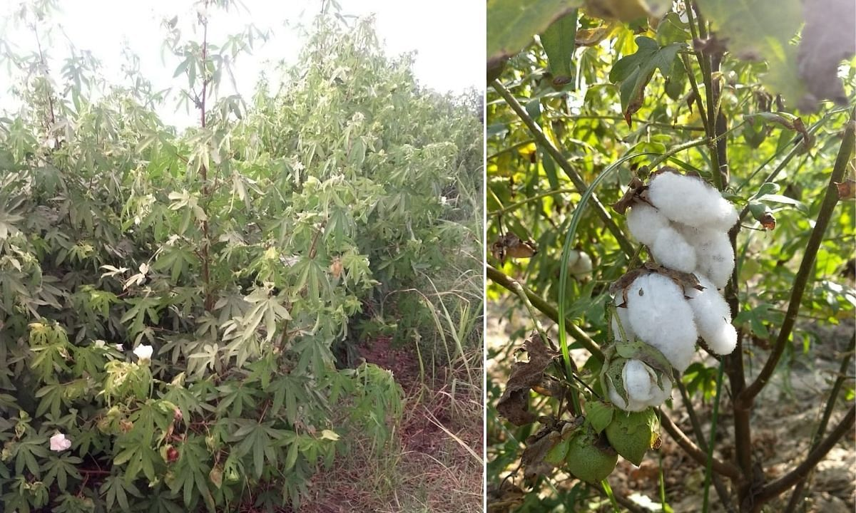Organic Cotton Farming