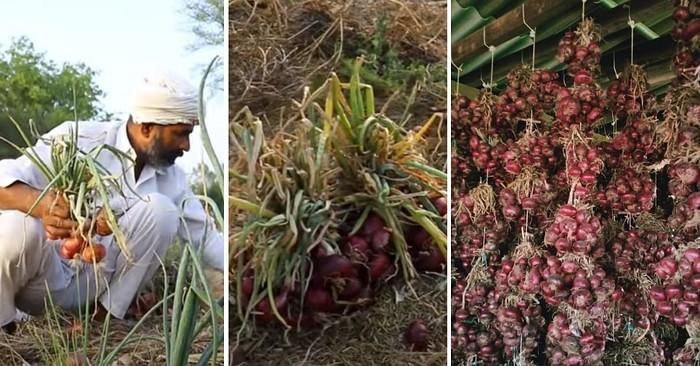 Haryana Onion Farmer